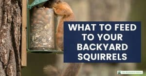 Squirrel eating out of a backyard feeder; What to feed backyard squirrels