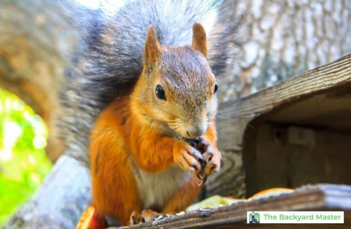 Squirrel eating from a backyard feeder; What to feed squirrels