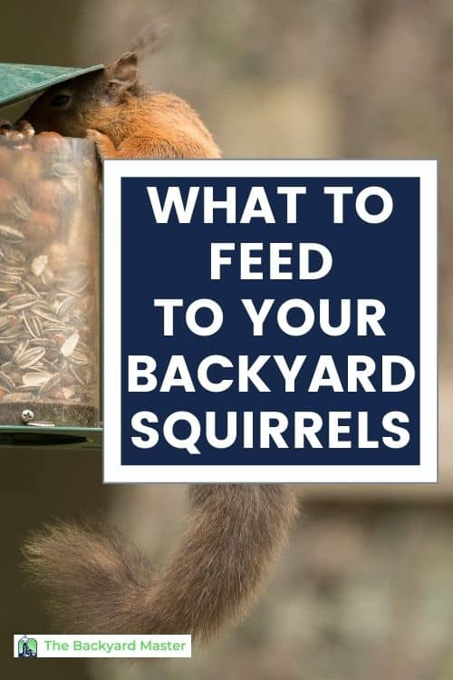 Image of squirrel eating nuts out of a backyard squirrel feeder with text overlay: What to feed backyard squirrels.