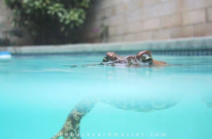 frog in backyard swimming pool