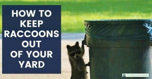 Raccoon getting into garbage can. Text: How to keep raccoons out of your yard