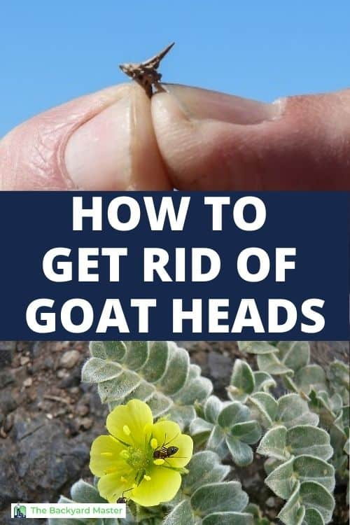 How to kill goatheads