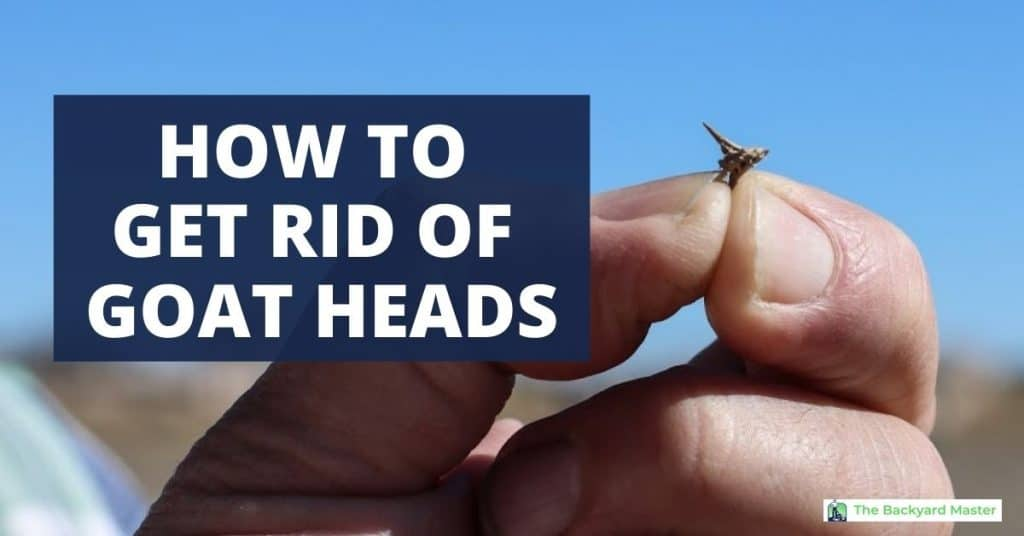 How to get rid of goat head weeds.