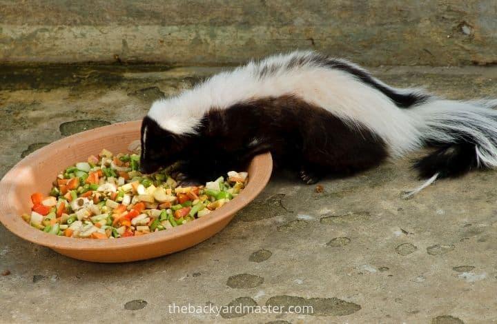 Skunk eating chicken food in a backyard.