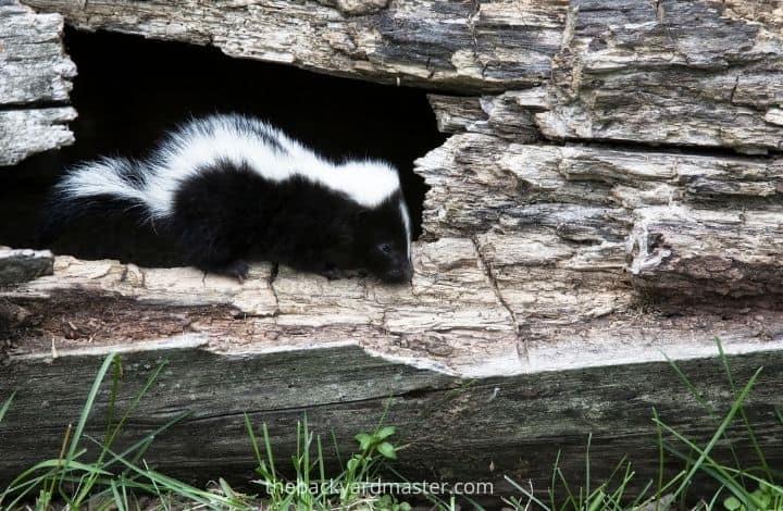 Skunk entering through a hold under a deck.