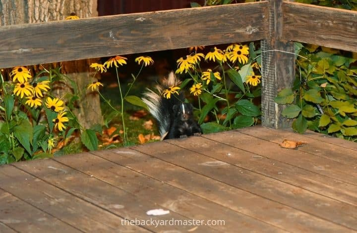 Photo of a skunk going under a wooden porch | How to get rid of a skunk under your deck.