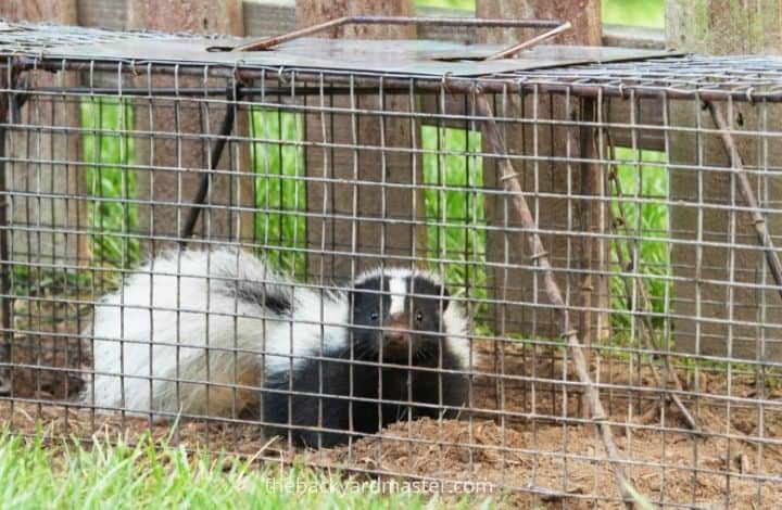 Skunk caught in a humane trap | how to remove skunk from patio