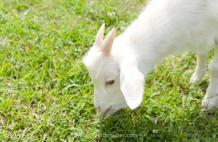 Baby goat eating grass   How to cut a lawn without a mower