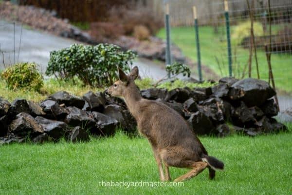 Deer pooping on a lawn